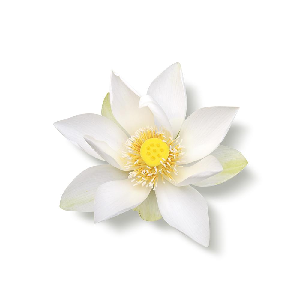 Heilige Lotus